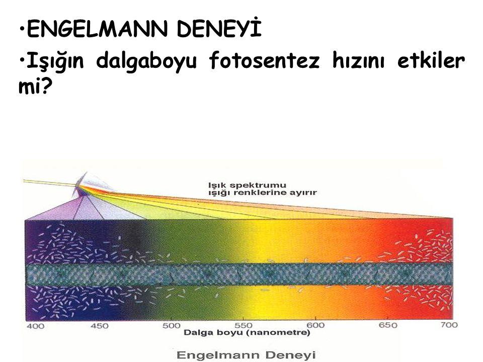 ENGELMANN DENEYİ Işığın dalgaboyu fotosentez hızını etkiler mi