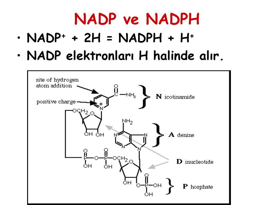 NADP ve NADPH NADP+ + 2H = NADPH + H+