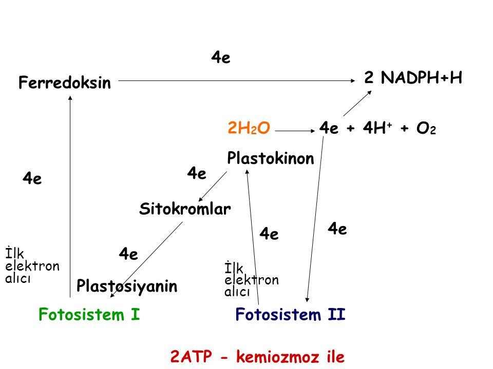 4e 2 NADPH+H Ferredoksin 2H2O 4e + 4H+ + O2 Plastokinon 4e 4e