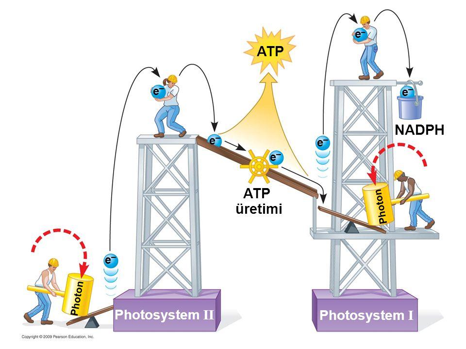ATP NADPH ATP üretimi Photosystem II Photosystem I e– e– e– e– e– e–