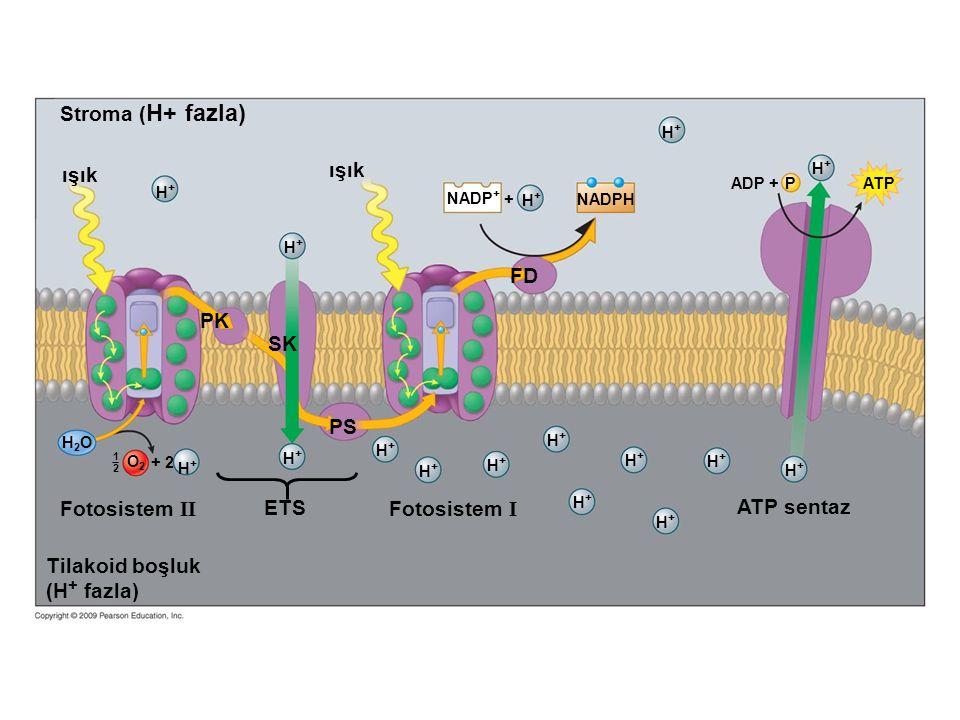 Stroma (H+ fazla) ışık ışık FD PK SK PS Fotosistem II ETS Fotosistem I