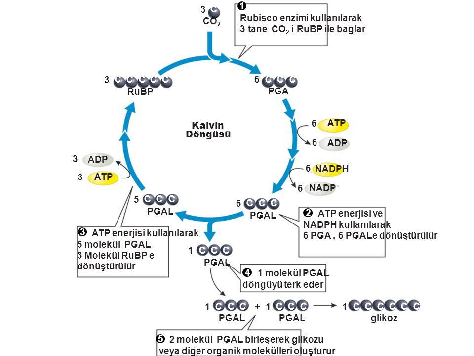 C 3. CO2. 6. PGA. NADP+ ATP. ADP. NADPH. 1. PGAL. 5. RuBP. + glikoz. Kalvin. Döngüsü.