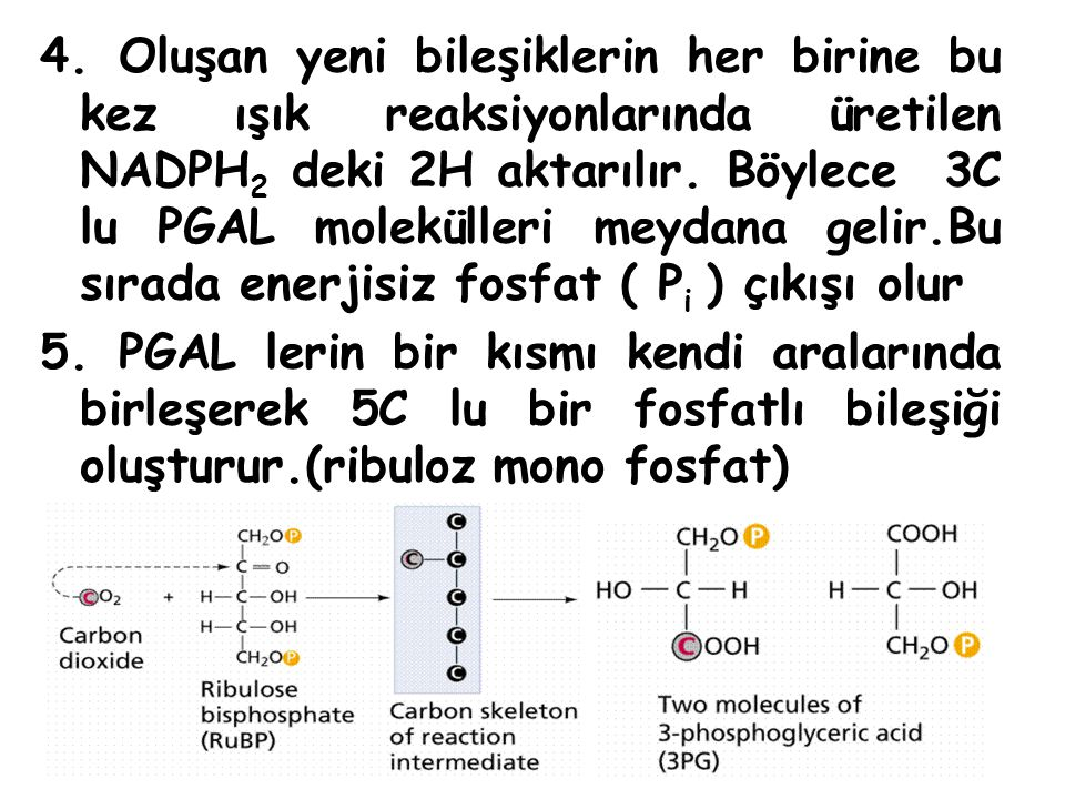 4. Oluşan yeni bileşiklerin her birine bu kez ışık reaksiyonlarında üretilen NADPH2 deki 2H aktarılır. Böylece 3C lu PGAL molekülleri meydana gelir.Bu sırada enerjisiz fosfat ( Pi ) çıkışı olur