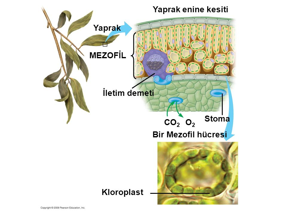 Yaprak enine kesiti Yaprak MEZOFİL İletim demeti Stoma CO2 O2
