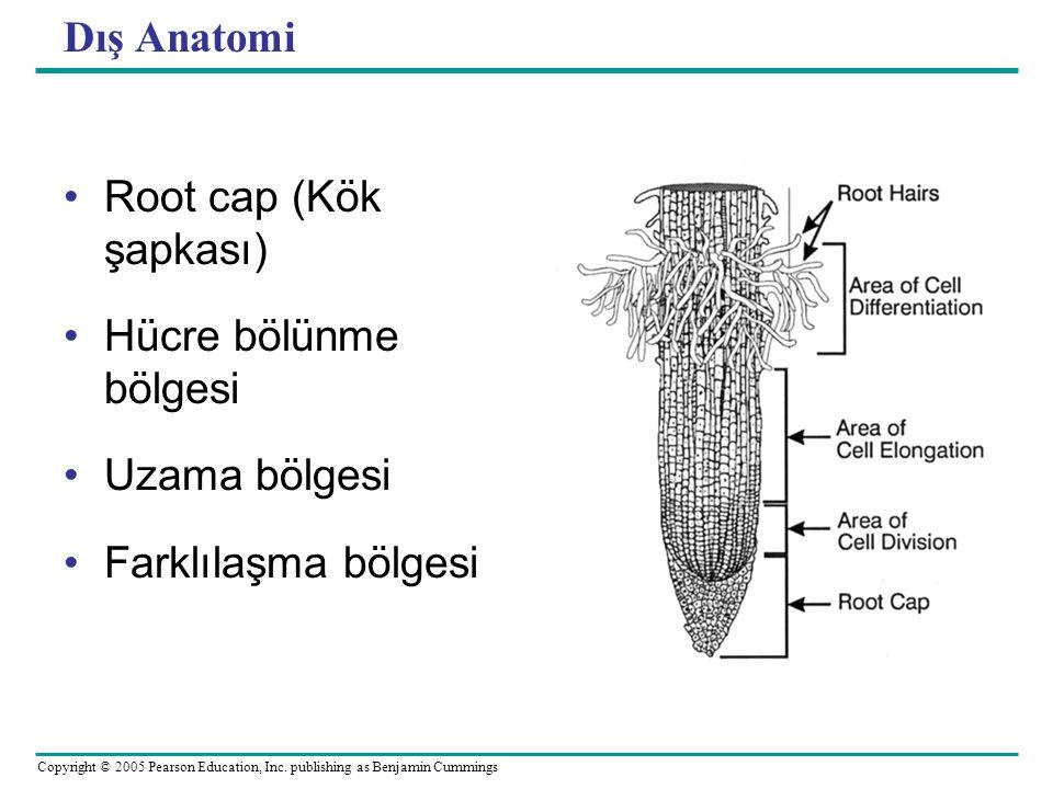 Dış Anatomi Root cap (Kök şapkası) Hücre bölünme bölgesi Uzama bölgesi Farklılaşma bölgesi