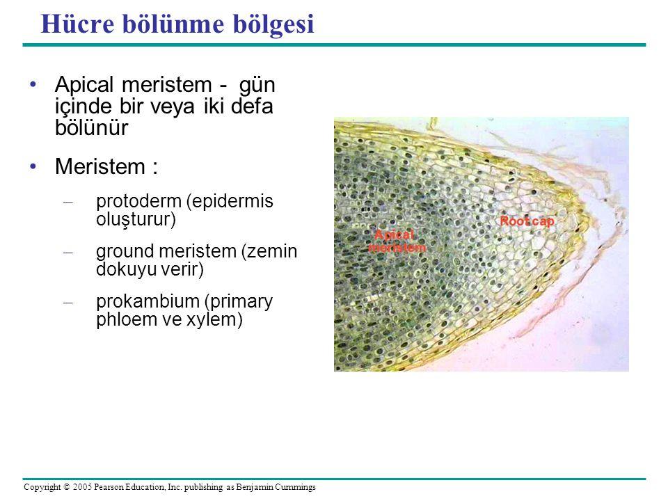 Hücre bölünme bölgesi Apical meristem - gün içinde bir veya iki defa bölünür. Meristem : protoderm (epidermis oluşturur)