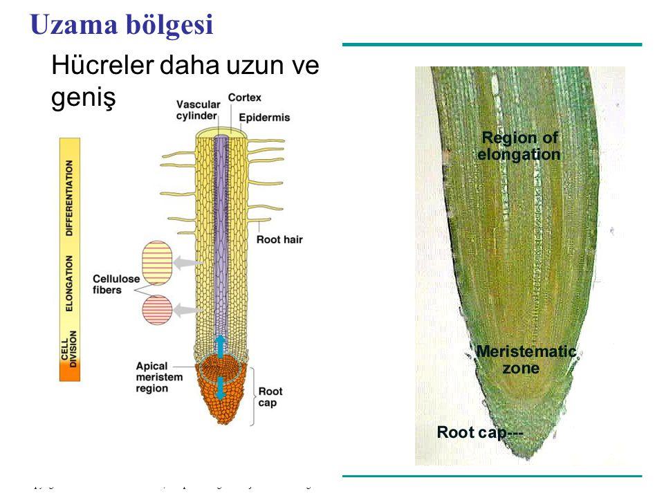 Uzama bölgesi Hücreler daha uzun ve geniş