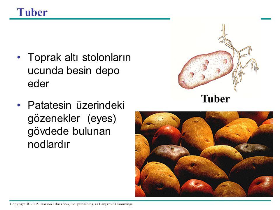 Tuber Toprak altı stolonların ucunda besin depo eder