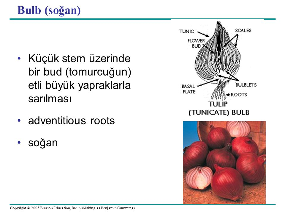Bulb (soğan) Küçük stem üzerinde bir bud (tomurcuğun) etli büyük yapraklarla sarılması. adventitious roots.