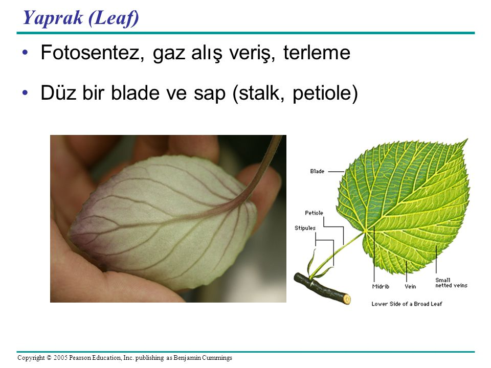 Yaprak (Leaf) Fotosentez, gaz alış veriş, terleme Düz bir blade ve sap (stalk, petiole)