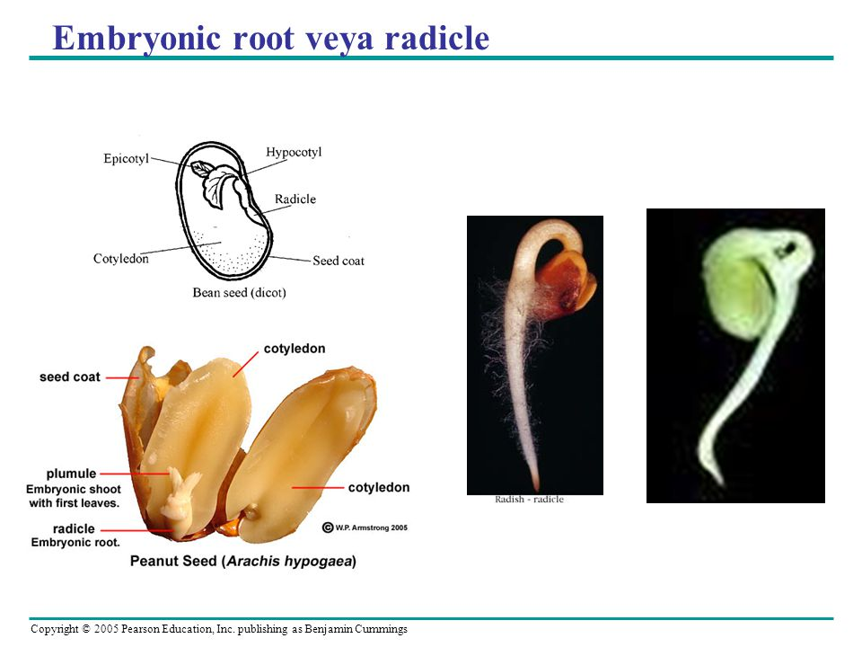 Embryonic root veya radicle
