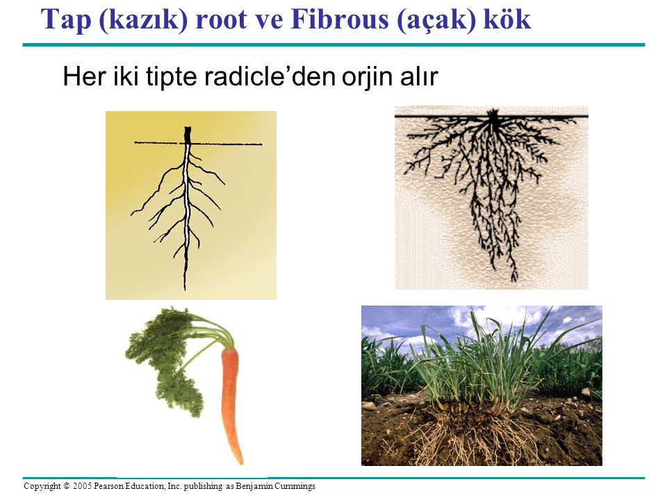 Tap (kazık) root ve Fibrous (açak) kök