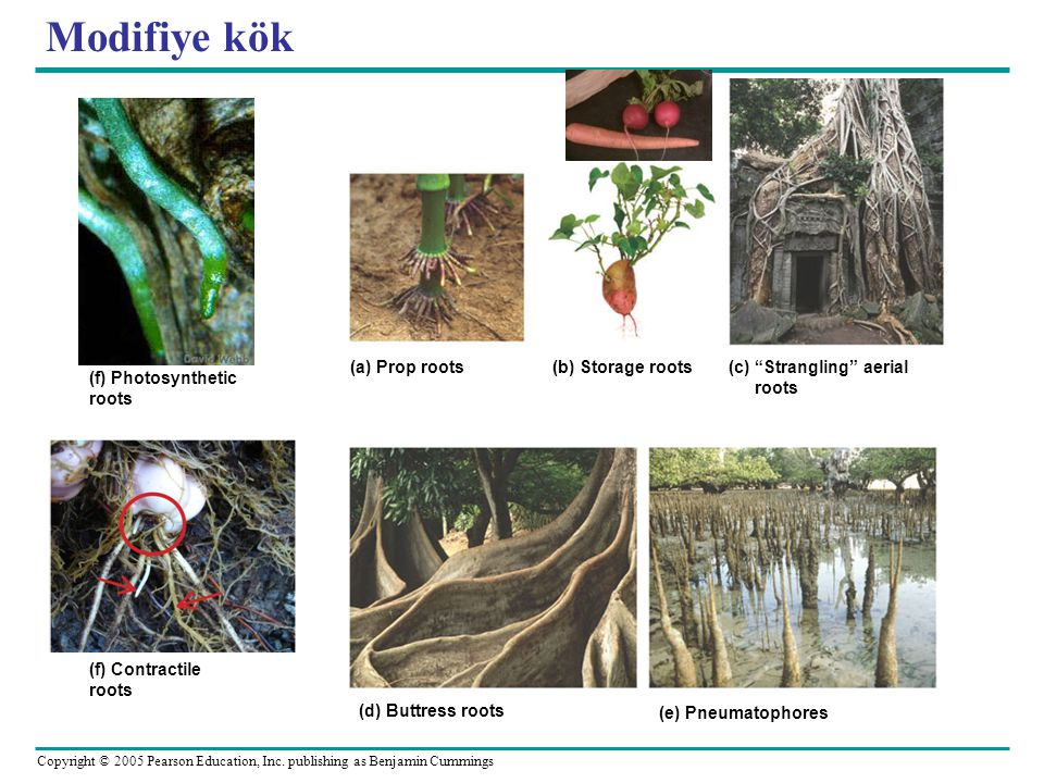 Modifiye kök (a) Prop roots (b) Storage roots