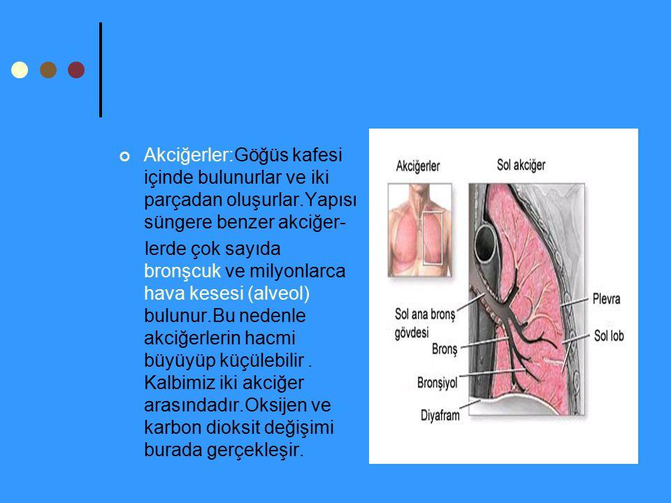 Akciğerler:Göğüs kafesi içinde bulunurlar ve iki parçadan oluşurlar