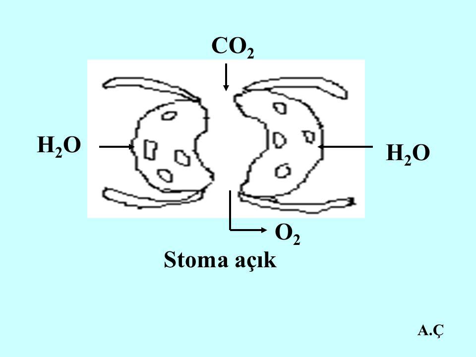 CO2 H2O H2O O2 Stoma açık A.Ç