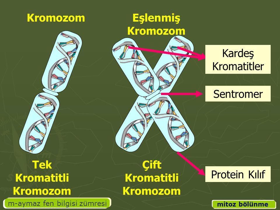 Tek Kromatitli Kromozom Çift Kromatitli Kromozom