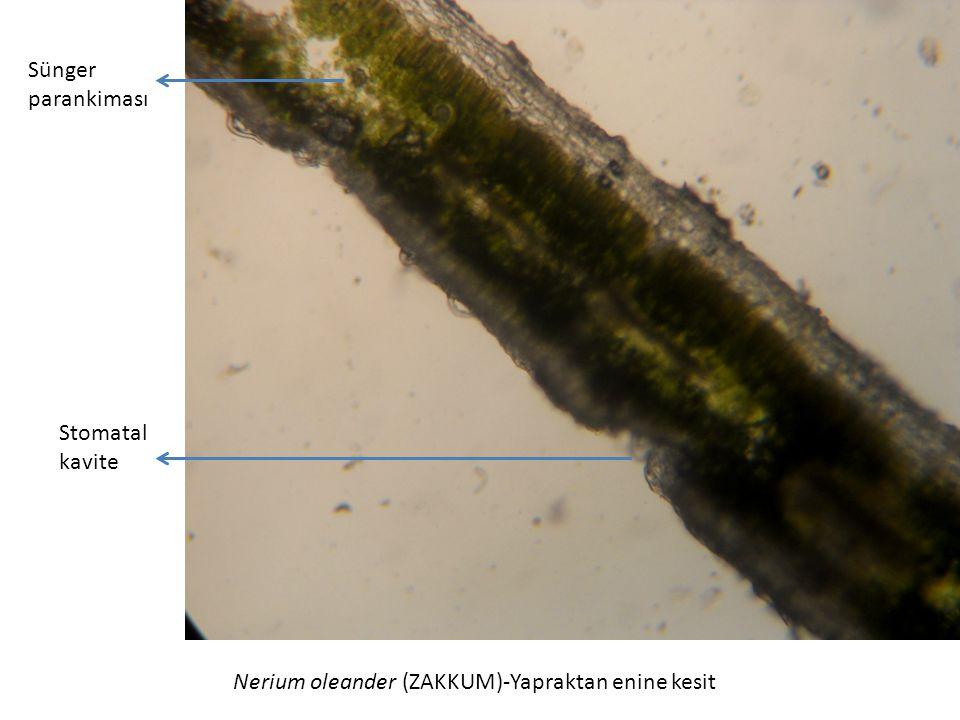 Sünger parankiması Stomatal kavite Nerium oleander (ZAKKUM)-Yapraktan enine kesit