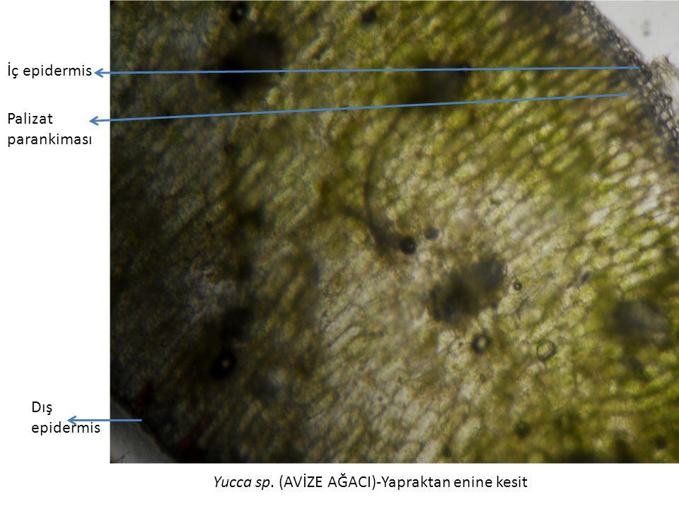 İç epidermis Palizat parankiması Dış epidermis Yucca sp. (AVİZE AĞACI)-Yapraktan enine kesit