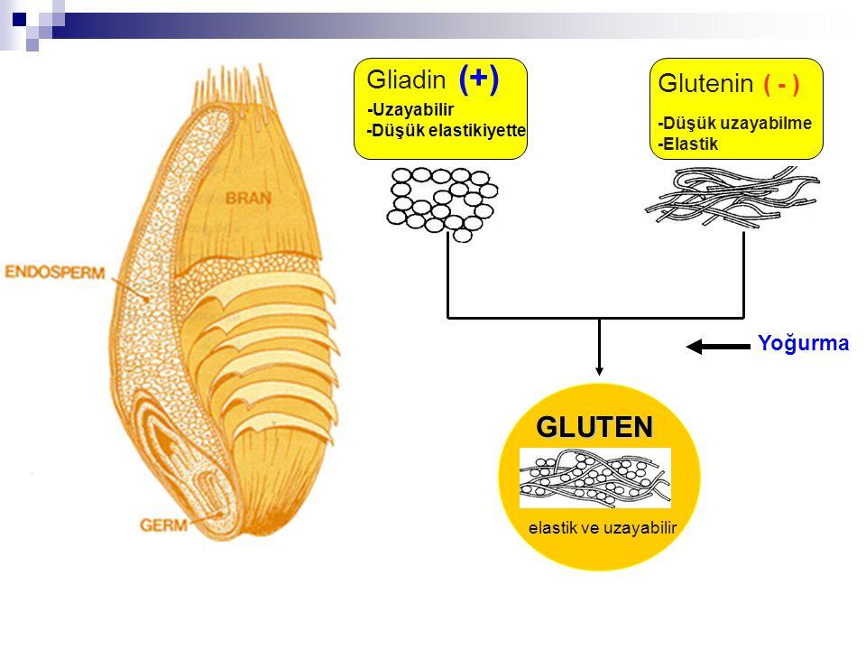 GLUTEN Glutenin ( - ) Yoğurma -Uzayabilir Gliadin (+)