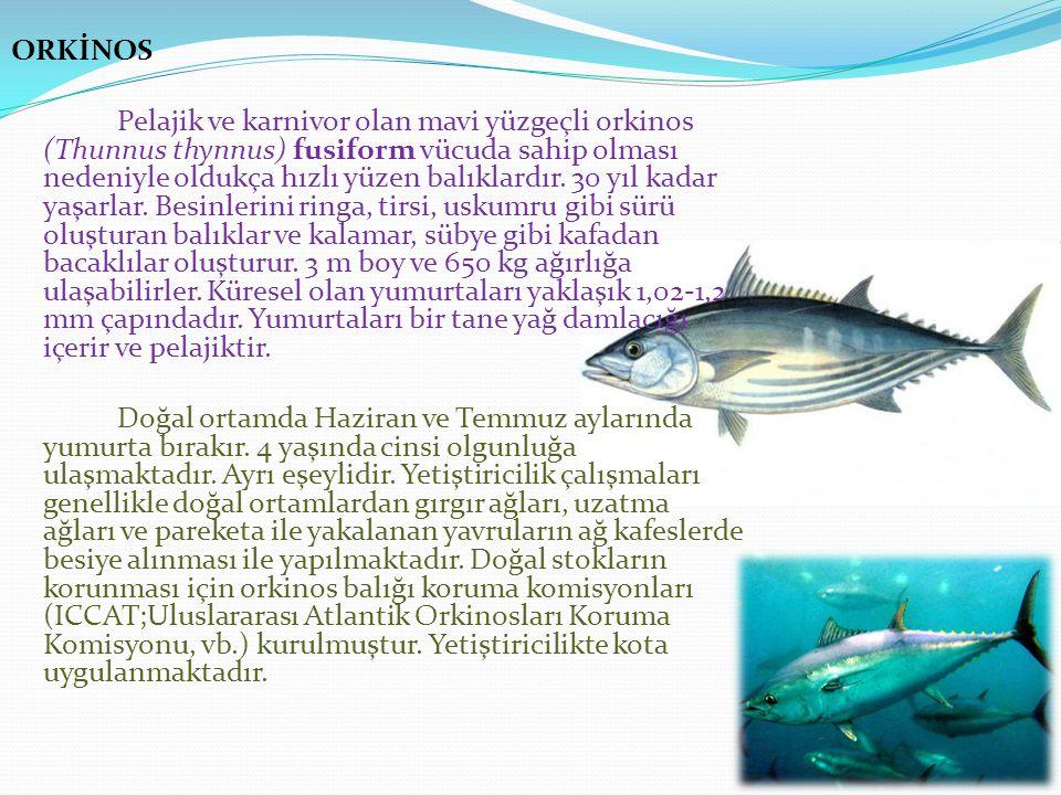 ORKİNOS Pelajik ve karnivor olan mavi yüzgeçli orkinos (Thunnus thynnus) fusiform vücuda sahip olması nedeniyle oldukça hızlı yüzen balıklardır.