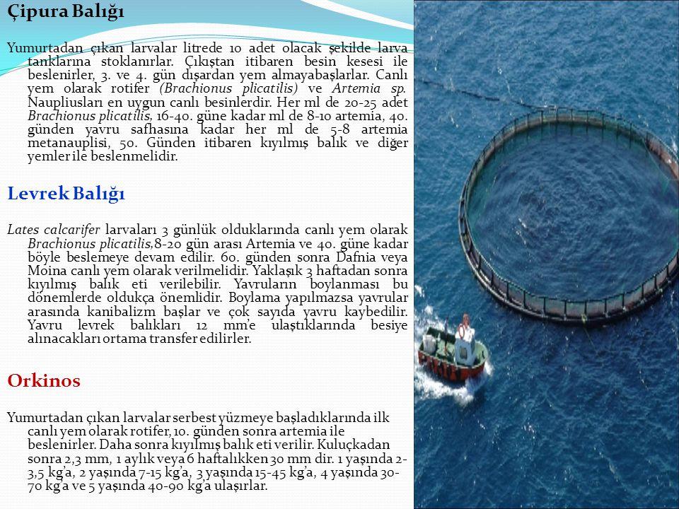 Çipura Balığı Levrek Balığı Orkinos