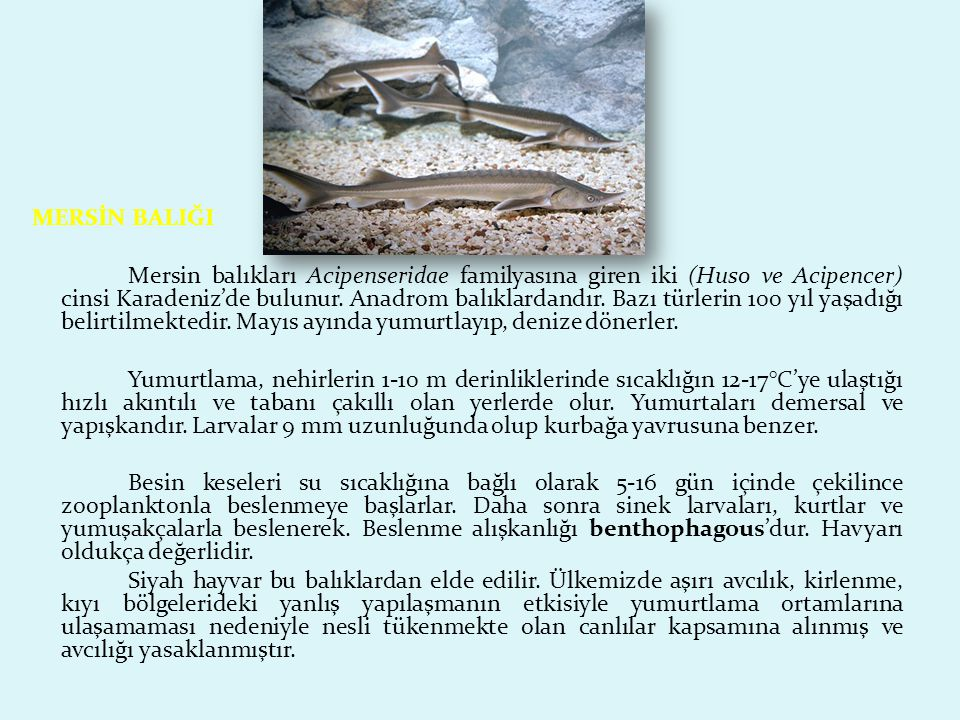 MERSİN BALIĞI Mersin balıkları Acipenseridae familyasına giren iki (Huso ve Acipencer) cinsi Karadeniz'de bulunur.