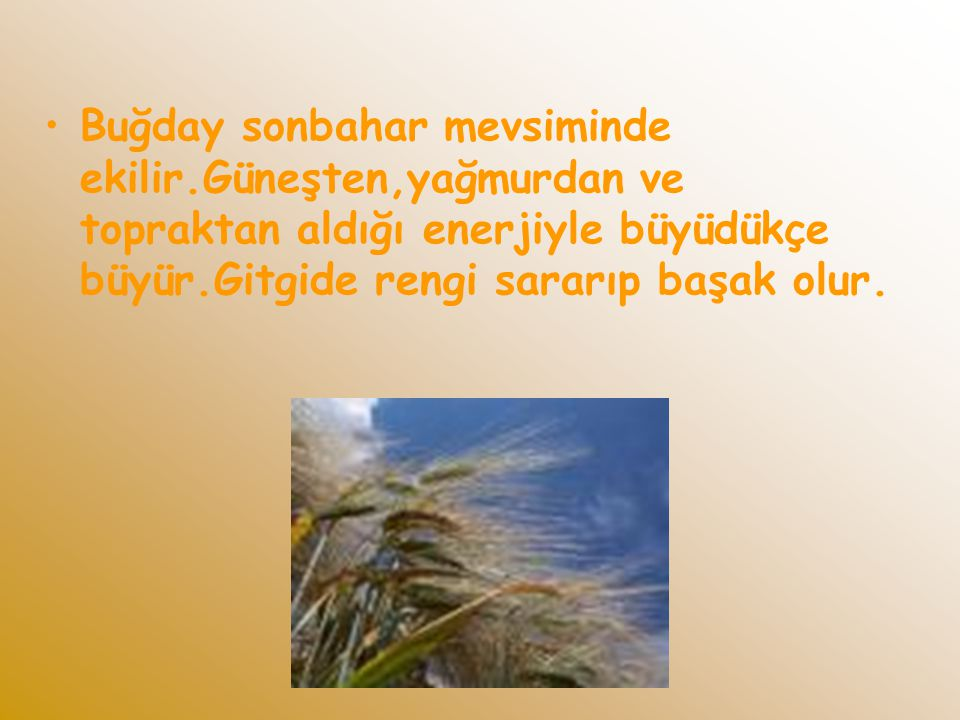 Buğday sonbahar mevsiminde ekilir