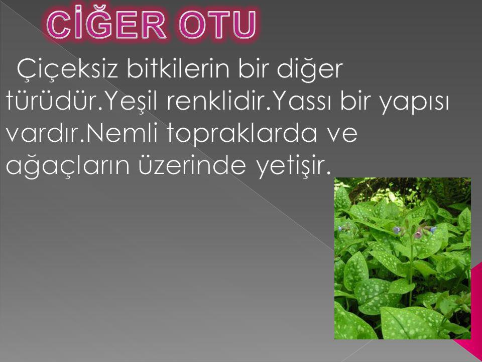 CİĞER OTU Çiçeksiz bitkilerin bir diğer türüdür.Yeşil renklidir.Yassı bir yapısı vardır.Nemli topraklarda ve ağaçların üzerinde yetişir.