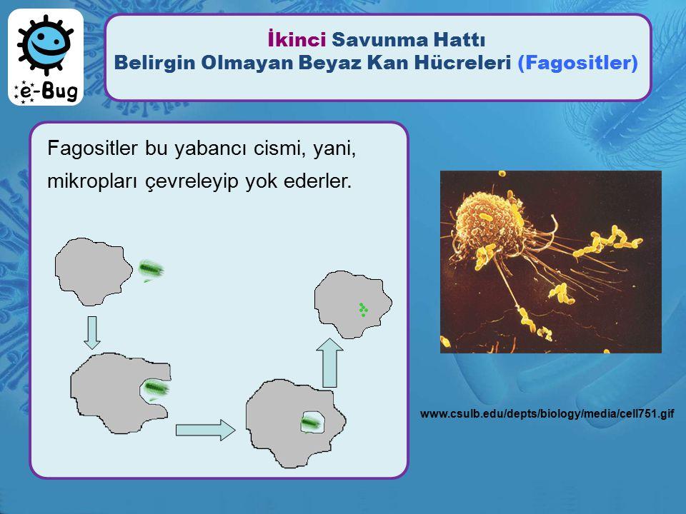 İkinci Savunma Hattı Belirgin Olmayan Beyaz Kan Hücreleri (Fagositler)