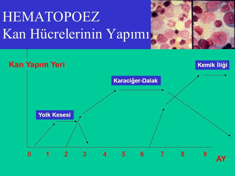 HEMATOPOEZ Kan Hücrelerinin Yapımı