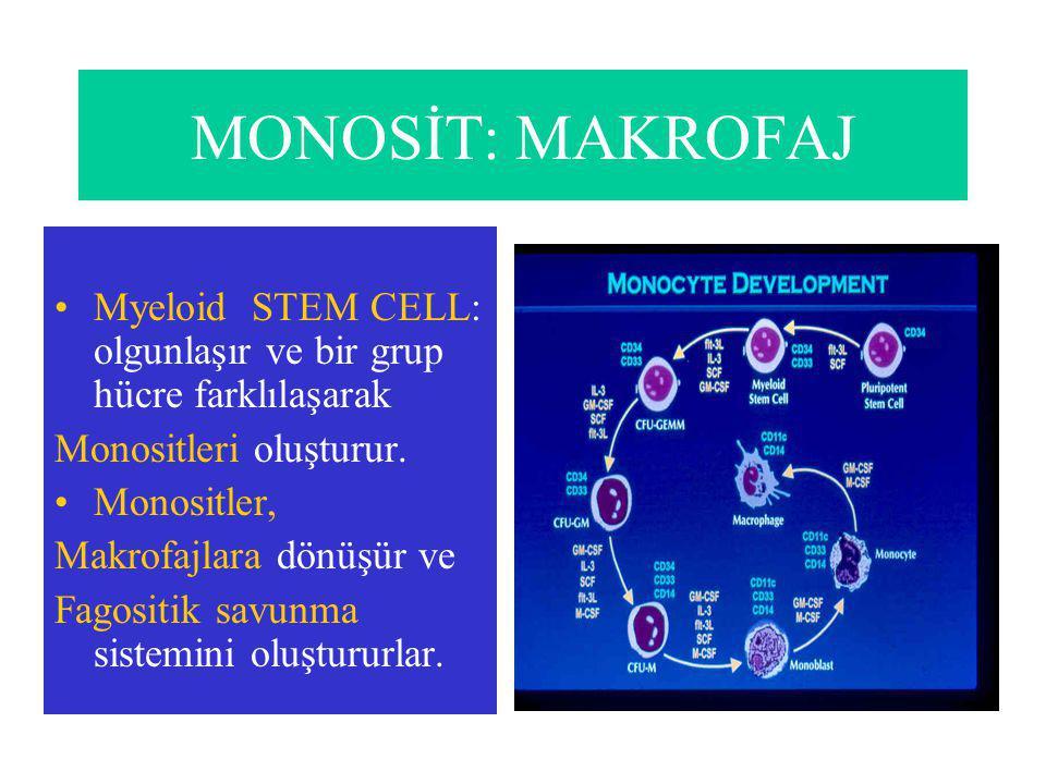 MONOSİT: MAKROFAJ Myeloid STEM CELL: olgunlaşır ve bir grup hücre farklılaşarak. Monositleri oluşturur.