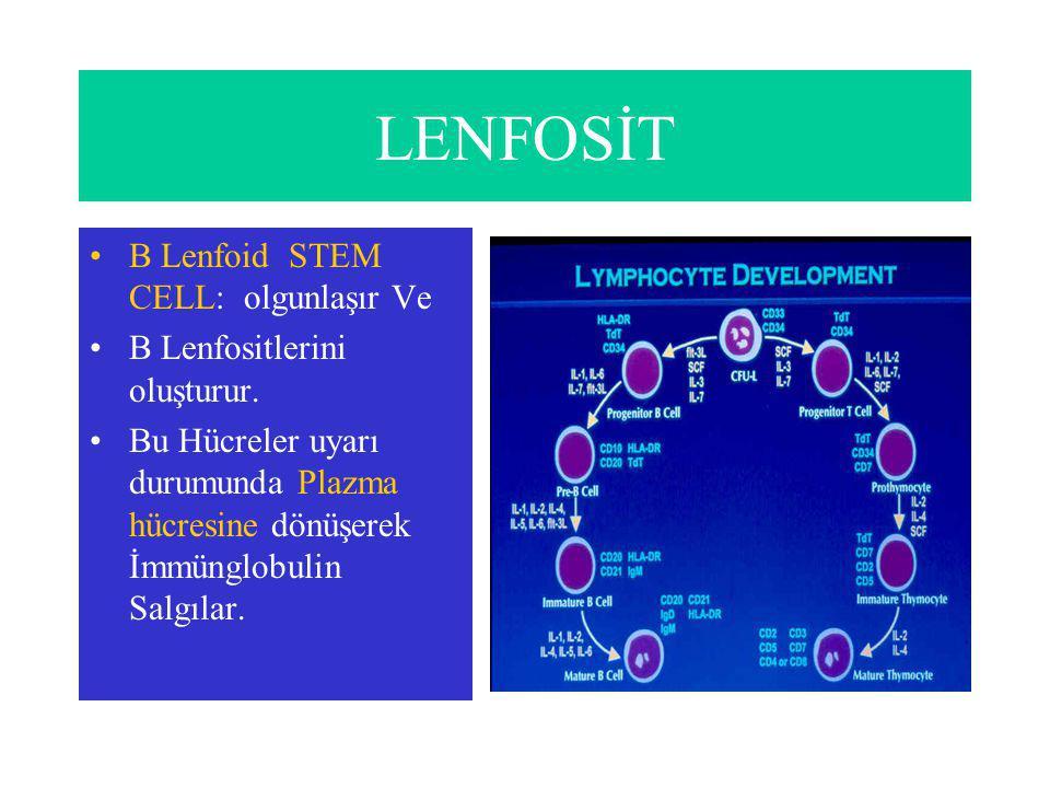 LENFOSİT B Lenfoid STEM CELL: olgunlaşır Ve
