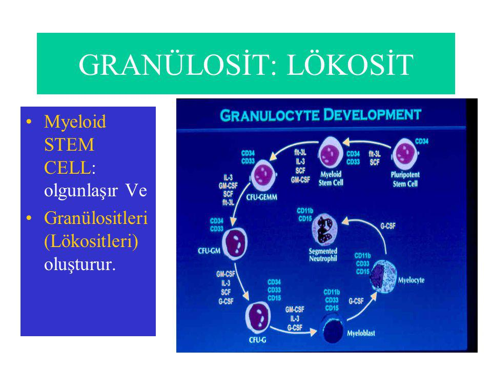 GRANÜLOSİT: LÖKOSİT Myeloid STEM CELL: olgunlaşır Ve