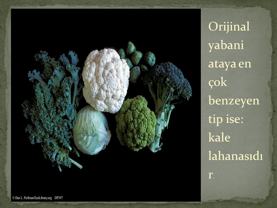 Orijinal yabani ataya en çok benzeyen tip ise: kale lahanasıdı r.