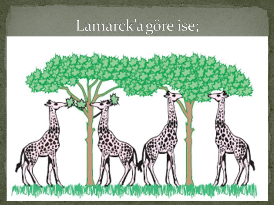Lamarck'a göre ise;