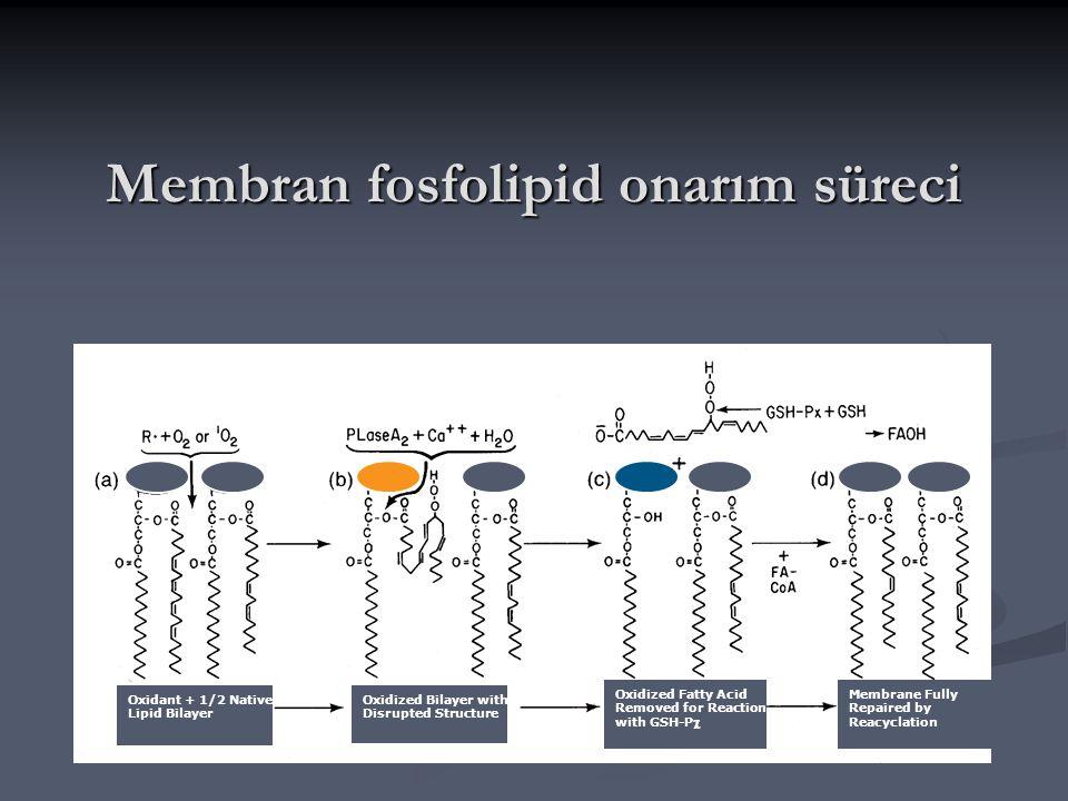 Membran fosfolipid onarım süreci