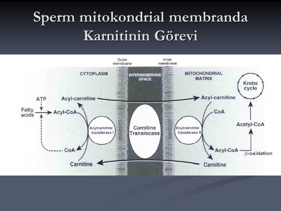 Sperm mitokondrial membranda Karnitinin Görevi
