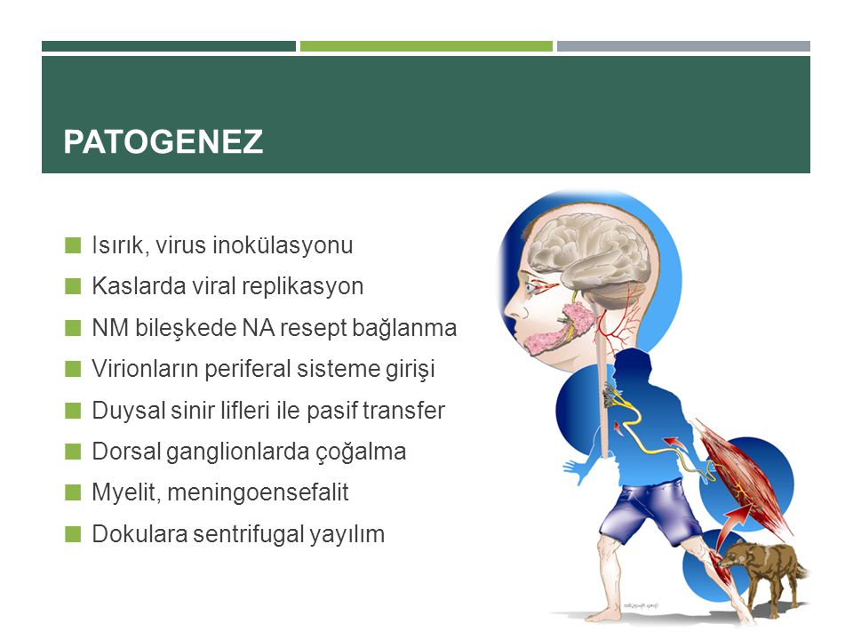 PATOGENEZ Isırık, virus inokülasyonu Kaslarda viral replikasyon