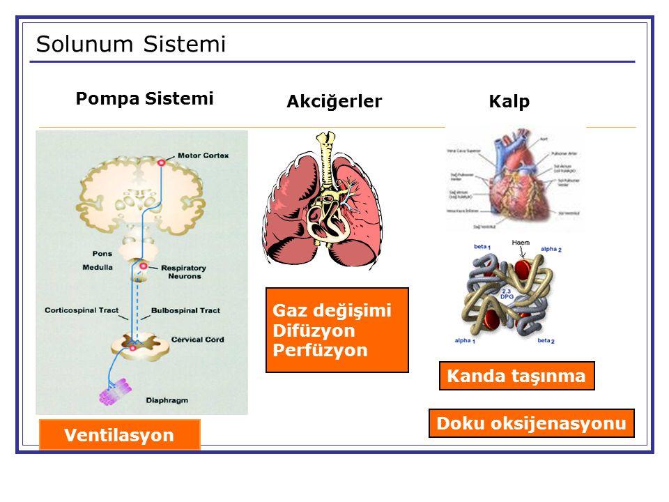 Solunum Sistemi Pompa Sistemi Akciğerler Kalp Gaz değişimi Difüzyon