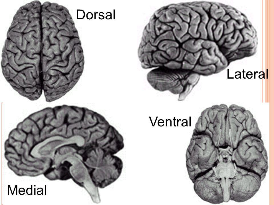 Dorsal Lateral Ventral Medial