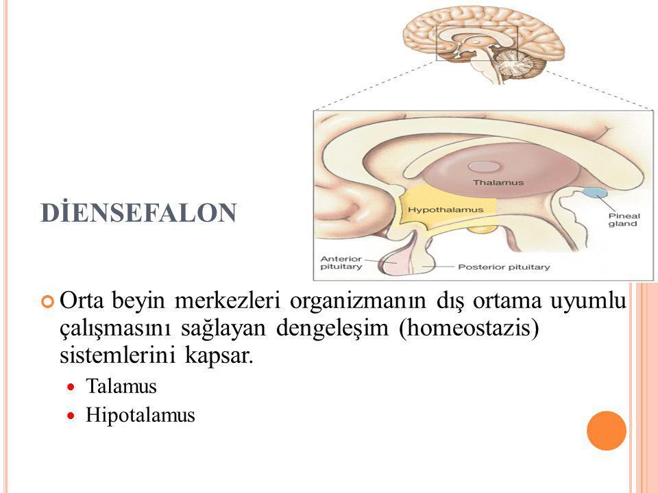 DİENSEFALON Orta beyin merkezleri organizmanın dış ortama uyumlu çalışmasını sağlayan dengeleşim (homeostazis) sistemlerini kapsar.