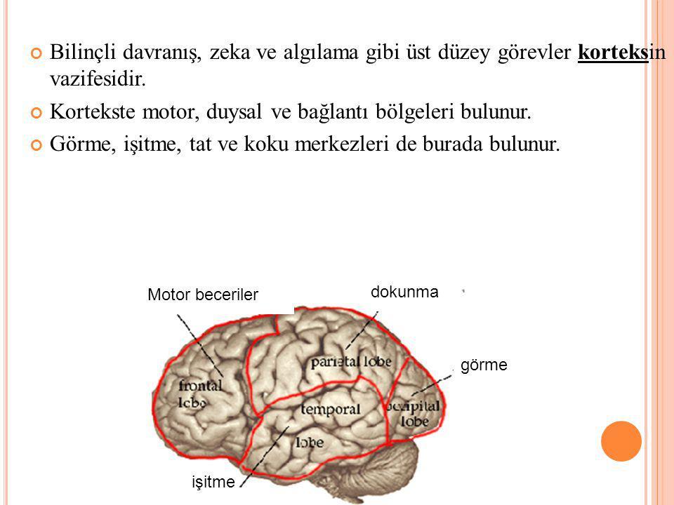 Kortekste motor, duysal ve bağlantı bölgeleri bulunur.