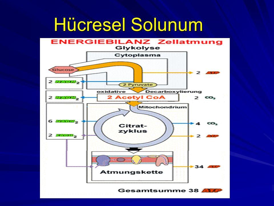 Hücresel Solunum
