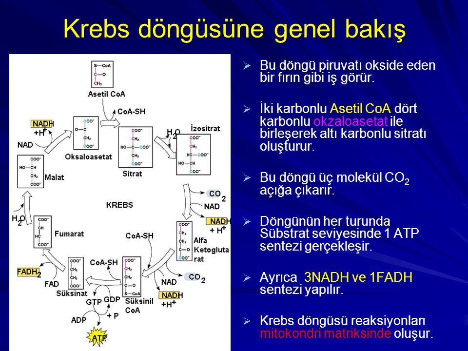 Krebs döngüsüne genel bakış