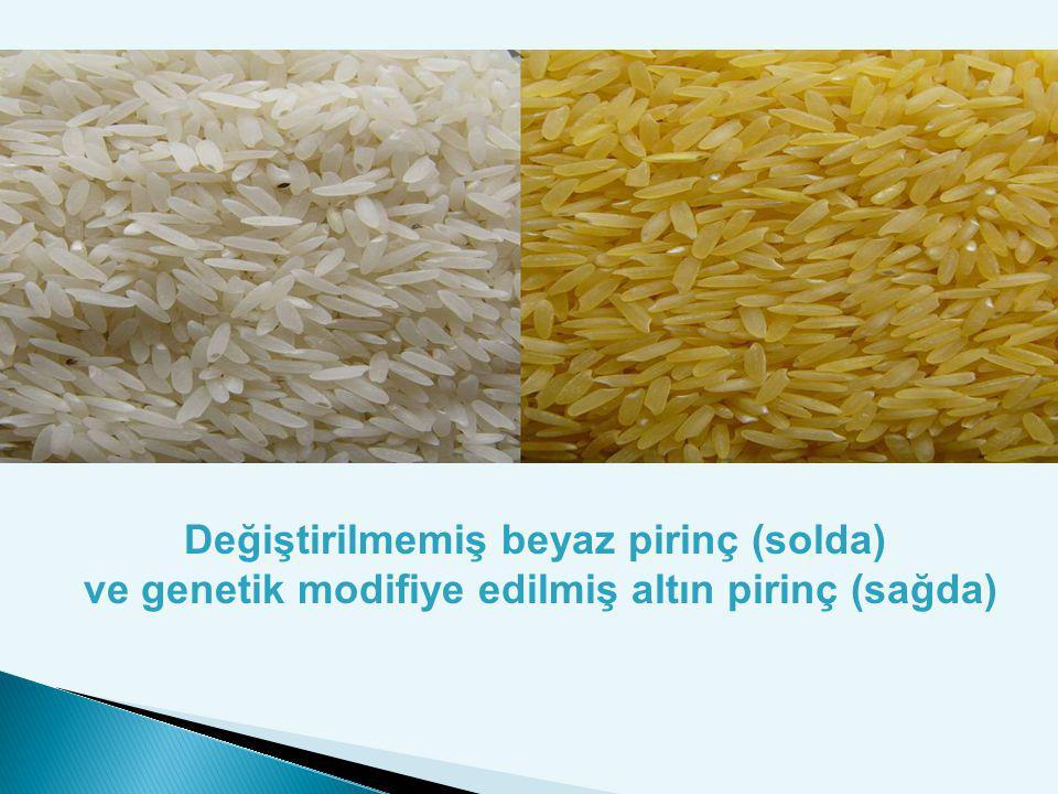 Değiştirilmemiş beyaz pirinç (solda) ve genetik modifiye edilmiş altın pirinç (sağda)
