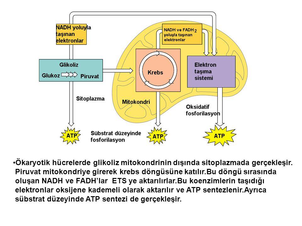 Ökaryotik hücrelerde glikoliz mitokondrinin dışında sitoplazmada gerçekleşir.