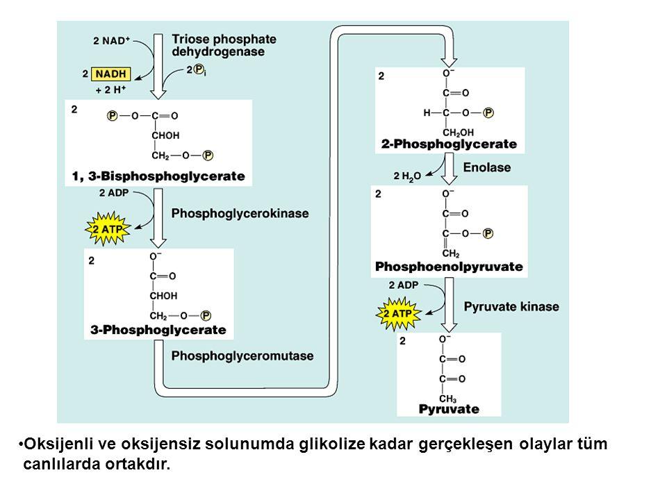 Oksijenli ve oksijensiz solunumda glikolize kadar gerçekleşen olaylar tüm