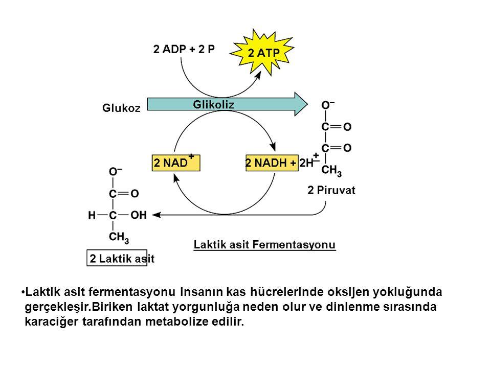 Laktik asit fermentasyonu insanın kas hücrelerinde oksijen yokluğunda