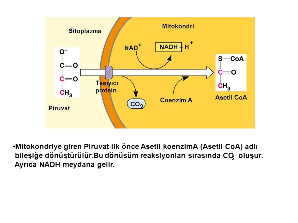 Mitokondriye giren Piruvat ilk önce Asetil koenzimA (Asetil CoA) adlı