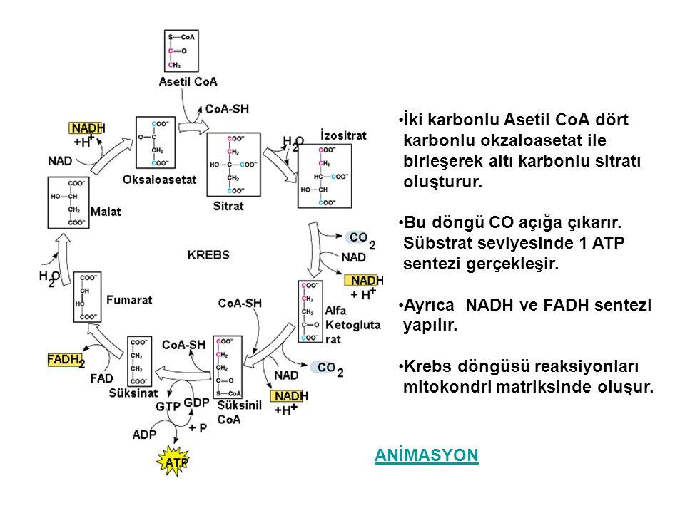 İki karbonlu Asetil CoA dört